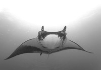 Giant Pacific Manta