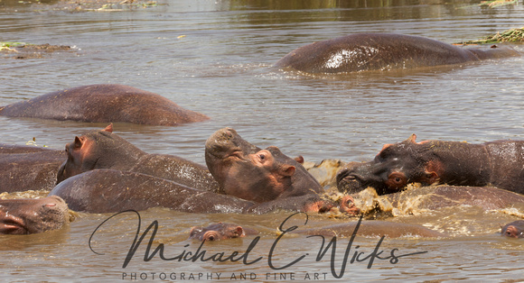 Hippos in the water